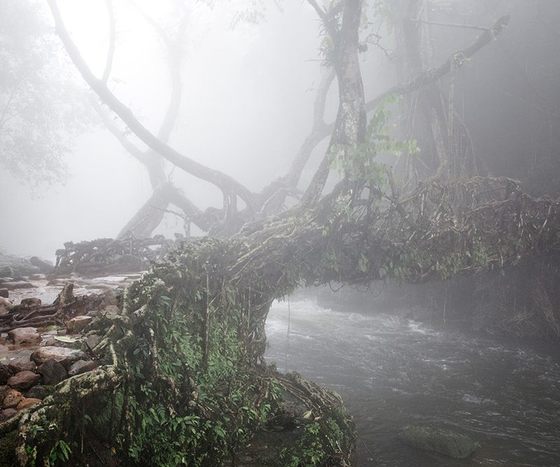 Early morning fog at the Living root bridges in Rawai, Mawlynnong, tourists come form all over india to cross the small river on this bridges that are handmade from the aerial roots of living banyan fig trees, by the Khasi people, 22 July 2016. Mawlynnong is a village in the East Khasi Hills district of the Meghalaya state, India. It is famous for its cleanliness and natural attraction. Mawlynnong was awarded the prestigious tag of 'Cleanest Village in Asia' in 2003 by Discover India Magazine. According to the census in 2015, the total population of Mawlynnong is 500 and is located 90 km from Shillong, along the India-Bangladesh border. @Giulio Di Sturco