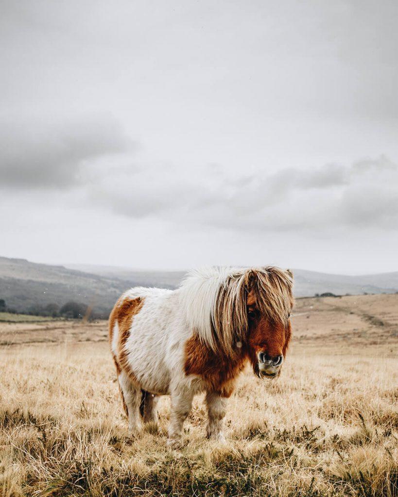 Scott Stevens - Dartmoor Pony