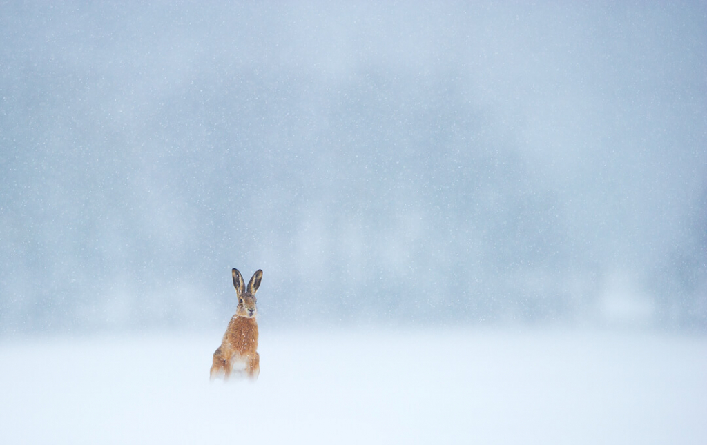 Andy Parkinson wildlife photography hare