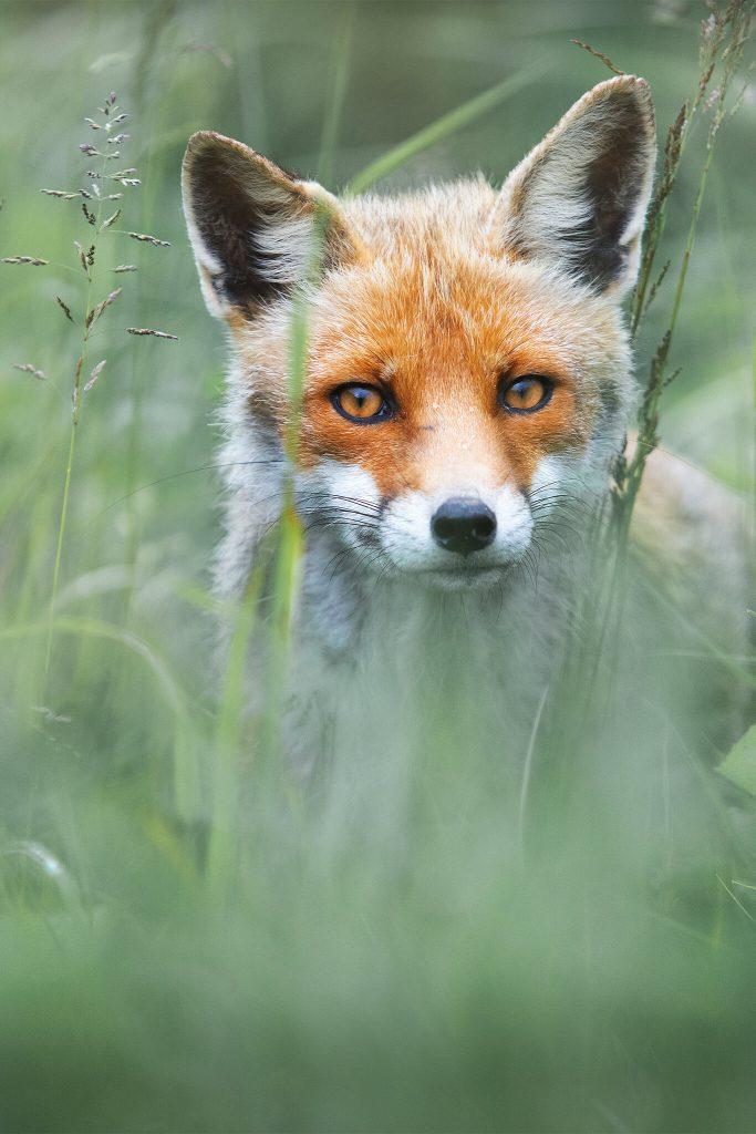'Fox Portrait' by Davide Giannetti.